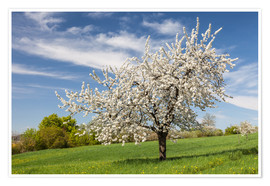 Premium poster Blooming cherry tree