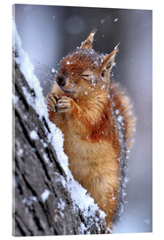 Acrylic print  Red squirrel in winter - Ervin Kobakçi