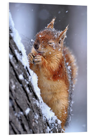 Foam board print  Red squirrel in winter - Ervin Kobakçi