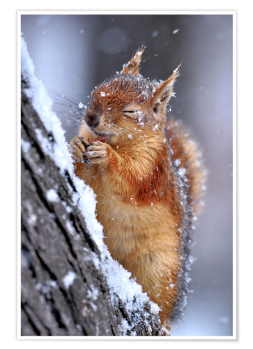 Premium poster Red squirrel in winter