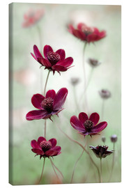 Canvas print  Cosmos sway - Mandy Disher