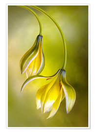 Premium poster  Tulipa - Mandy Disher