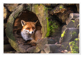 Premium poster  Fox in a hollow trunk - Cees Ginkel