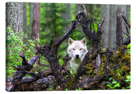Canvas print  Wolf - Mike Centioli