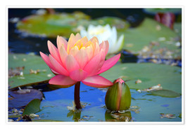 Premium poster water lily