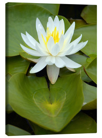 Canvas  white water lily - GUGIGEI