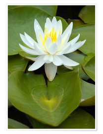 Premium poster white water lily