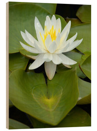 Wood print  white water lily - GUGIGEI