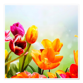 Premium poster Tulips with Water Drops
