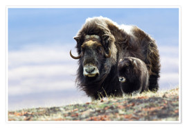 Premium poster Musk ox with calf