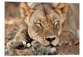 Forex  Lioness sleep by wildflower - Paul Souders