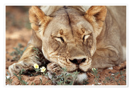 Premium poster Lioness sleeps on wildflowers
