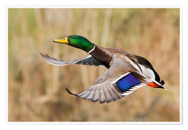 Poster  Mallard in flight - Ken Archer
