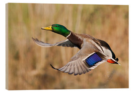 Wood print  Mallard in flight - Ken Archer