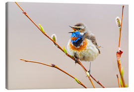 Canvas print  Singing Bluethroat - Ken Archer