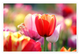 Premium poster Beautiful colorful Tulips