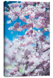 Canvas print  Cherry blossom in spring - Peter Wey
