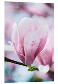 Acrylic print  Closeup of blossoming magnolia in spring - Peter Wey