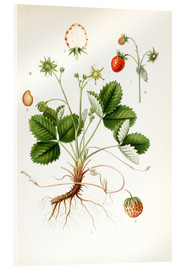 Acrylic print  Strawberry - Carl Axel Magnus Lindman