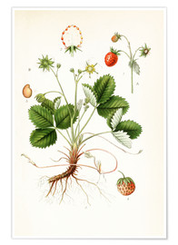 Poster  Strawberry - Carl Axel Magnus Lindman