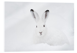 Acrylic print  Mountain hare in winter - Peter Wey