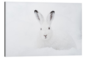 Aluminium print  Mountain hare in winter - Peter Wey