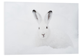Forex  Mountain hare in winter - Peter Wey