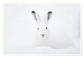 Premium poster Mountain hare in winter
