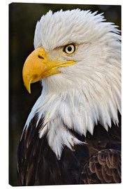 Adam Jones - Bald Eagle portrait, Haliaetus leucocephalus, Homer, Alaska