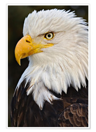 Premium poster Bald Eagles up close