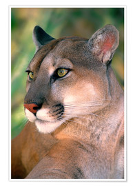 Premium poster Portrait of a cougar