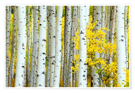 Rob Tilley - birch forest