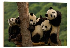 Wood print  Giant panda babies - Pete Oxford
