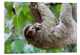 Acrylic glass  Brown-throated Sloth and her baby - Jim Goldstein