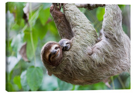 Canvas print  Brown-throated Sloth and her baby - Jim Goldstein
