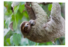 Foam board print  Brown-throated Sloth and her baby - Jim Goldstein