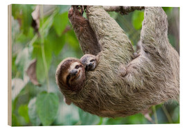 Wood print  Brown-throated Sloth and her baby - Jim Goldstein
