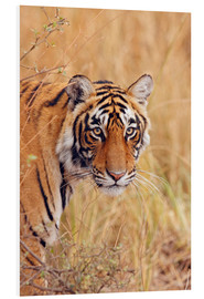 Foam board print  Royal Bengal Tiger - Jagdeep Rajput