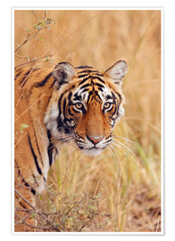 Premium poster Royal Bengal Tiger