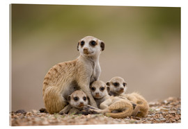 Acrylic print  Meerkat family in Namibia - Paul Souders