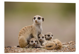Forex  Meerkat family in Namibia - Paul Souders