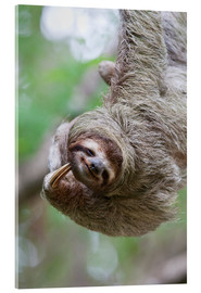Acrylic print  Funny brown-throated sloth - Jim Goldstein