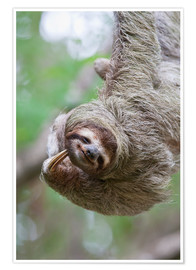 Premium poster Funny brown-throated sloth