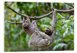 Acrylic print  Brown-throated sloth with baby - Jim Goldstein