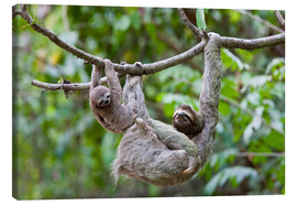 Canvas print  Brown-throated sloth with baby - Jim Goldstein