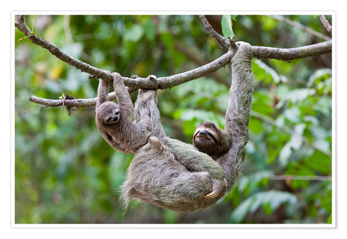 Premium poster Brown-throated sloth with baby