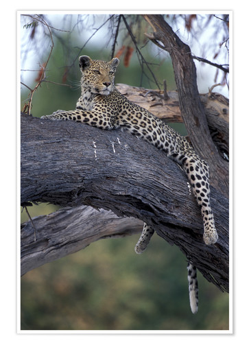 Premium poster Leopard is resting on tree