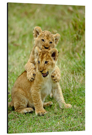 Alu-Dibond  Pair of lion cubs playing, Masai Mara Game Reserve, Kenya - Adam Jones