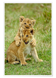 Premium poster Pair of lion cubs playing, Masai Mara Game Reserve, Kenya