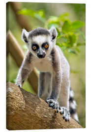 Canvas print  Baby Ring-tailed lemur - Gallo Images